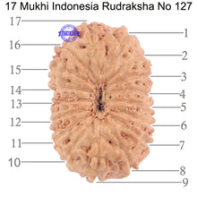 Load image into Gallery viewer, 17 Mukhi Rudraksha from Indonesia - Bead No. 127