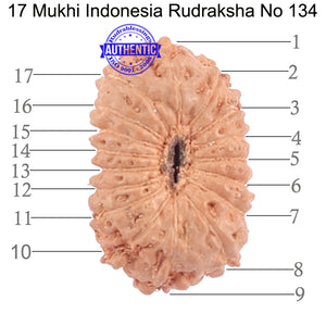 17 Mukhi Rudraksha from Indonesia - Bead No. 134