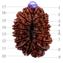 Load image into Gallery viewer, 17 Mukhi Nepalese Rudraksha - Bead No. 45