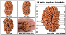 Load image into Gallery viewer, 17 Mukhi Nepalese Rudraksha - Bead No. 25