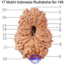 Load image into Gallery viewer, 17 Mukhi Rudraksha from Indonesia - Bead No. 149