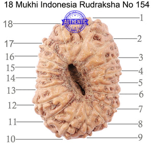 18 Mukhi Rudraksha from Indonesia - Bead No. 154