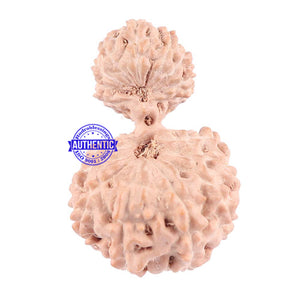 18 Mukhi Gaurishankar Rudraksha from Indonesia - Bead No. 129