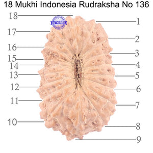 18 Mukhi Rudraksha from Indonesia - Bead No. 136