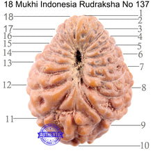 Load image into Gallery viewer, 18 Mukhi Rudraksha from Indonesia - Bead No 137