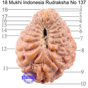 18 Mukhi Rudraksha from Indonesia - Bead No 137