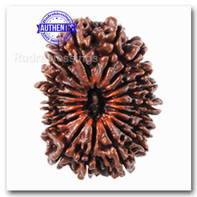 18 Mukhi Rudraksha from Nepal - Bead No. 37