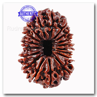 18 Mukhi Rudraksha from Nepal - Bead No. 38