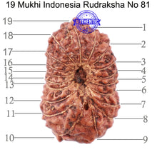 Load image into Gallery viewer, 19 Mukhi Indonesian Rudraksha - Bead 81
