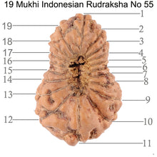 Load image into Gallery viewer, 19 Mukhi Indonesian Rudraksha - Bead 55