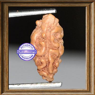 1 Mukhi Rudraksha from Indonesia - Bead No. 57