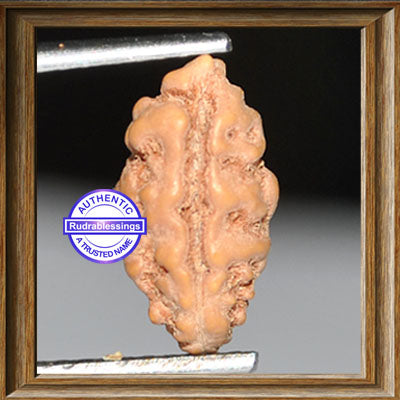 1 Mukhi Rudraksha from Indonesia - Bead No. 61
