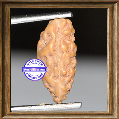1 Mukhi Rudraksha from Indonesia - Bead No. 62