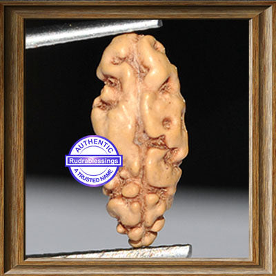 1 Mukhi Rudraksha from Indonesia - Bead No. 87