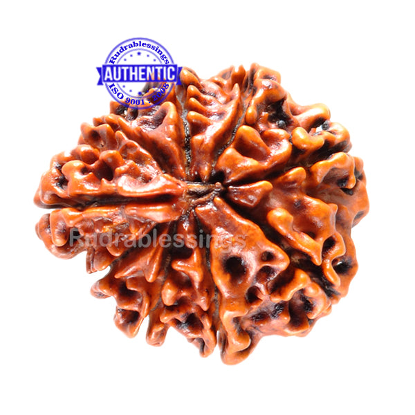 1 Mukhi Savar on 8 Mukhi Rudraksha from Nepal - Bead No. 10