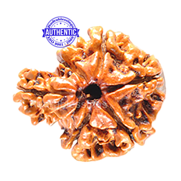 1 Mukhi Savar Rudraksha from Nepal - Bead No. 35