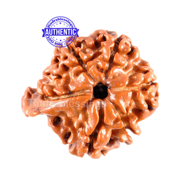1 Mukhi Savar on 10 Mukhi Rudraksha from Nepal - Bead No. 75