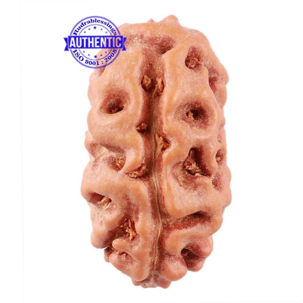 2 Mukhi Rudraksha from Indonesia - Bead No. 107