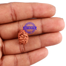 Load image into Gallery viewer, 2 Mukhi Rudraksha from Indonesia - Bead No. 112