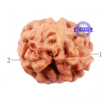Load image into Gallery viewer, 2 Mukhi Rudraksha from Indonesia - Bead No. 79