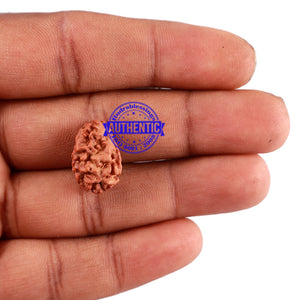 2 Mukhi Rudraksha from Indonesia - Bead No. 88