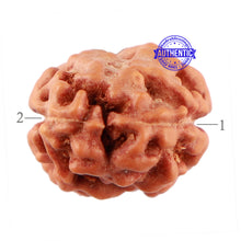 Load image into Gallery viewer, 2 Mukhi Rudraksha from Indonesia - Bead No. 89
