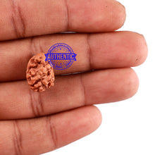 Load image into Gallery viewer, 2 Mukhi Rudraksha from Indonesia - Bead No. 90