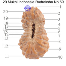 Load image into Gallery viewer, 20 Mukhi Indonesian Rudraksha - Bead 59