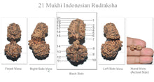 Load image into Gallery viewer, 21 Mukhi Indonesian Gaurishankar Rudraksha - Bead No. 37