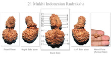 Load image into Gallery viewer, 21 Mukhi Indonesian Gaurishankar Rudraksha - Bead No. 42