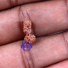 Load image into Gallery viewer, 21 Mukhi Indonesian Gaurishankar Rudraksha - Bead 106
