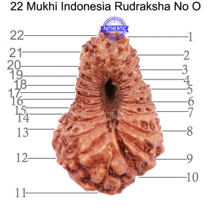 22 Mukhi Rudraksha from Indonesia - Bead No O