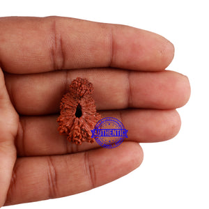 24 Mukhi Rudraksha from Indonesia - Bead No. F