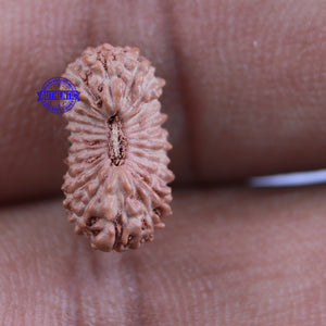 24 Mukhi Rudraksha from Indonesia - Bead No. K