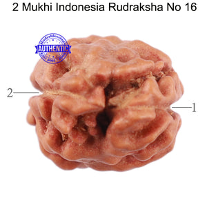 2 Mukhi Rudraksha from Indonesia - Bead No. 16