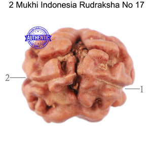 2 Mukhi Rudraksha from Indonesia - Bead No. 17