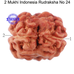 2 Mukhi Rudraksha from Indonesia - Bead No. 24