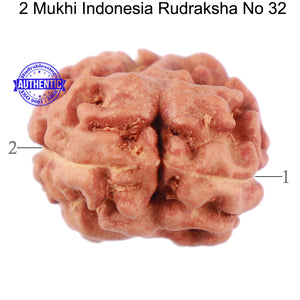 2 Mukhi Rudraksha from Indonesia - Bead No. 32