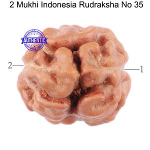 2 Mukhi Rudraksha from Indonesia - Bead No. 35