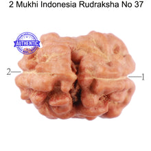 Load image into Gallery viewer, 2 Mukhi Rudraksha from Indonesia - Bead No. 37