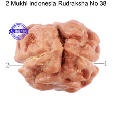 Load image into Gallery viewer, 2 Mukhi Rudraksha from Indonesia - Bead No. 38