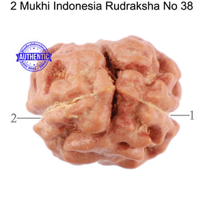 2 Mukhi Rudraksha from Indonesia - Bead No. 38