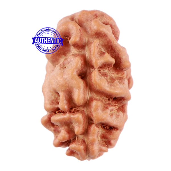 2 Mukhi Rudraksha from Indonesia - Bead No 40