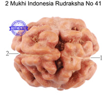 Load image into Gallery viewer, 2 Mukhi Rudraksha from Indonesia - Bead No. 41