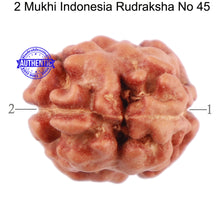 Load image into Gallery viewer, 2 Mukhi Rudraksha from Indonesia - Bead No 45