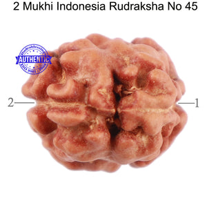 2 Mukhi Rudraksha from Indonesia - Bead No 45