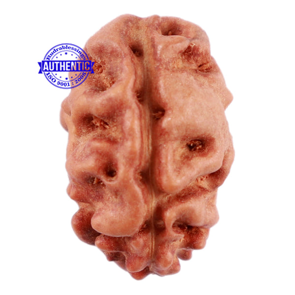 2 Mukhi Rudraksha from Indonesia - Bead No 48