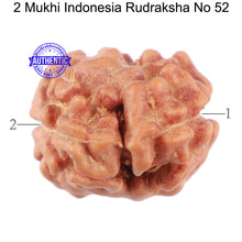 Load image into Gallery viewer, 2 Mukhi Rudraksha from Indonesia - Bead No. 52