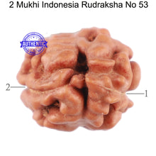 Load image into Gallery viewer, 2 Mukhi Rudraksha from Indonesia - Bead No. 53