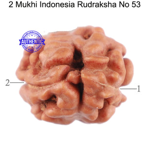 2 Mukhi Rudraksha from Indonesia - Bead No. 53